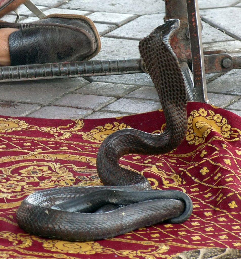 """Serpiente """"encantada"""" en Marrakech"""