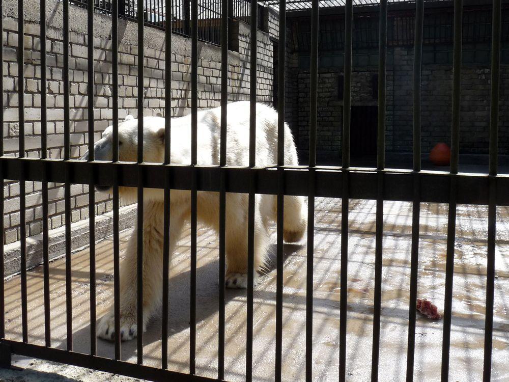 El oso polar pasando calor en la jaula del zoo de Tallin